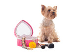 little dog yorkshire terrier with mirror and make up brushes iso