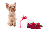 cute little dog yorkshire terrier sitting with gift box and flow