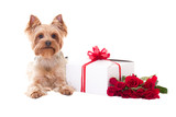 little dog yorkshire terrier lying with gift box and flowers iso