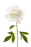 Isolated peony flower