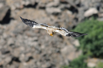 Egyptian Vulture (Neophron percnopterus).