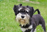 Small black and white schnauzer on the lawn