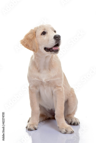 healthy golden labrador puppy