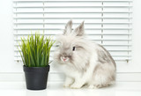 Rabbit sniffs the grass poster