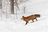 Red Fox (Vulpes vulpes) Trots Through Brushy Area