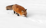 Red Fox (Vulpes vulpes) Stalks Through the Snow
