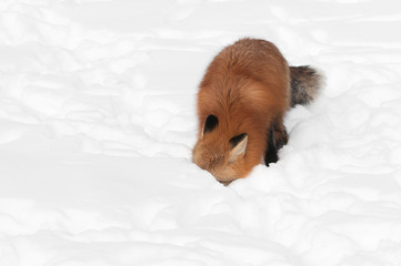 Red Fox (Vulpes vulpes) with Nose in Snow