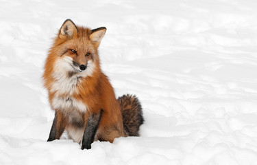 Red Fox (Vulpes vulpes) Sits Peacefully in Snow - Copy space rig