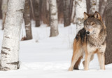 Grey Wolf (Canis lupus) Stands Between Trees