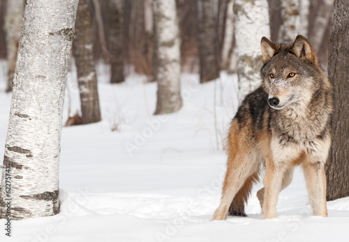 Foto op Canvas Wolf Grey Wolf (Canis lupus) Stands Between Trees
