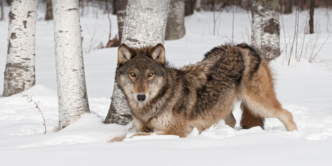 Grey Wolf (Canis lupus) Crouches Near Treeline