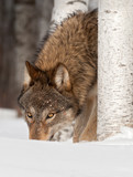Grey Wolf (Canis lupus) Sniffs in Snow poster