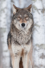Grauer Wolf (Canis lupus) Straight On