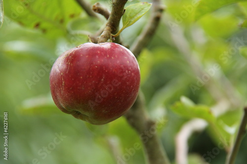 A Ripe Red Apple Hanging on a Fruit Tree.
