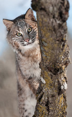 Bobcat (Lynx rufus) Behind Branches
