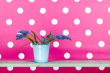 Blue grape hyacinths in blue bucket on pink