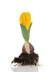 Growing yellow tulip