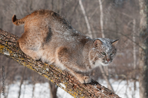 Foto op Canvas Lynx Bobcat (Lynx rufus) Crouches on Branch Looking Right
