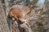 Bobcat (Lynx rufus) Crouches on Snowy Stump