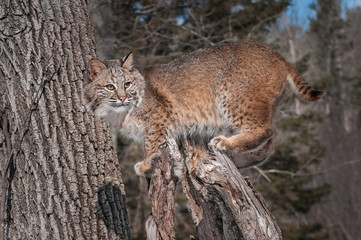 Bobcat (Lynx rufus) Stands on Stump