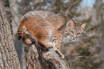 Bobcat (Lynx rufus) Crouches on Snowy Stump