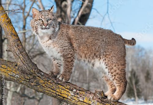 Canvas Lynx Bobcat (Lynx rufus) Stands on Branch