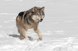 Grey Wolf (Canis lupus) Runs along in Snow