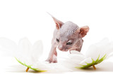 Little Don sphynx kitten with camomiles