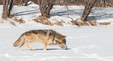 Grey Wolf (Canis lupus) Trots Along Snowy Riverbed