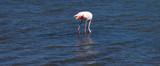 Flamand rose - Port Camargue