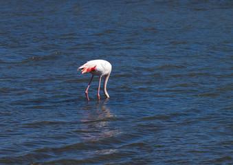 Flmand rose avec le bec dans l'eau