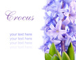violet flower hyacinth isolated