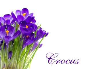 Early spring flower Crocus isolated