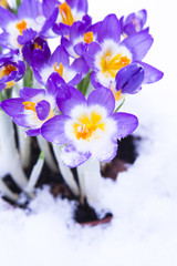 Purple Crocus in snow