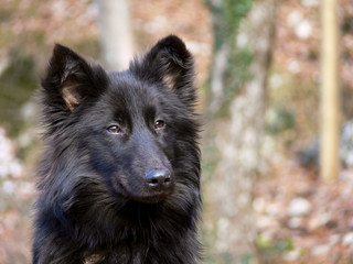cane pastore belga nero