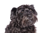 schnauzer dog breed with pedigree in black poster