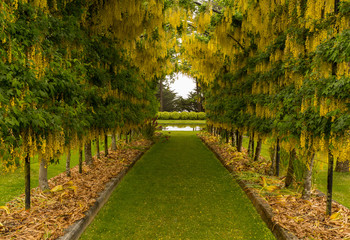 Laburnum Arch in full bloom over grass path