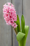 Pink hyacinth flower on wooden background