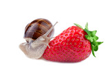 garden snail creeps on a strawberry