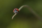 Early Spring Ladybird