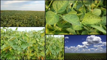 soya green field
