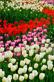 Blooming dense flowerbed of various tulips