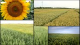 agriculture harvest wheat grain barley field multiscreen
