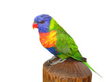 Lorikeet; isolated on white