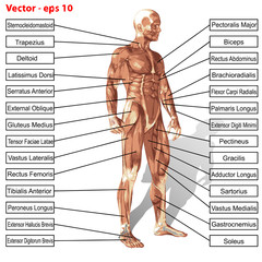 Vector human man anatomy with muscles text