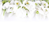 Fototapety Beautiful snowdrops, isolated on white
