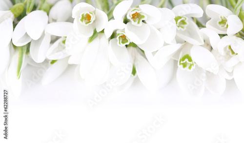 Schneeglöckchen im reinen Weiß