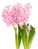 Pink hyacinth isolated on white