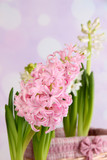 Hyacinth on bright background