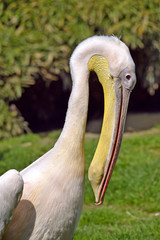 Portrait of white pelican